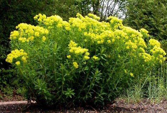 Euphorbia palustris: Características y cultivo