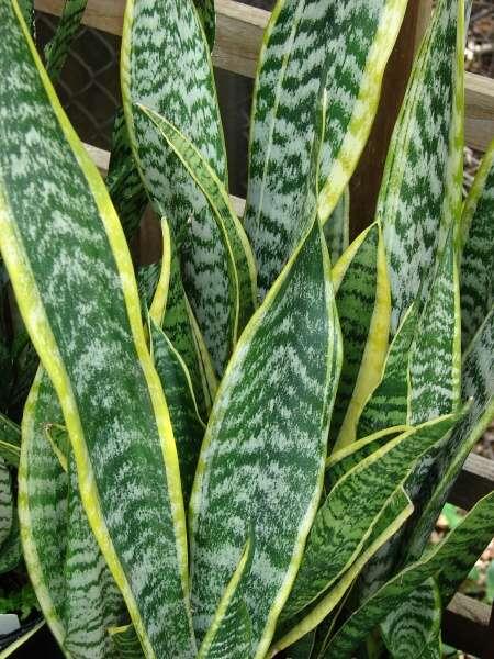 Plantas que pueden cultivarse en kokedamas