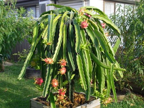 Cactus pithaya: Características, suelos y propagación