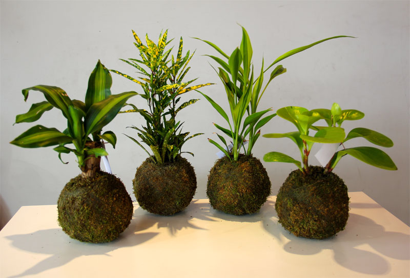 plantas kokedamas