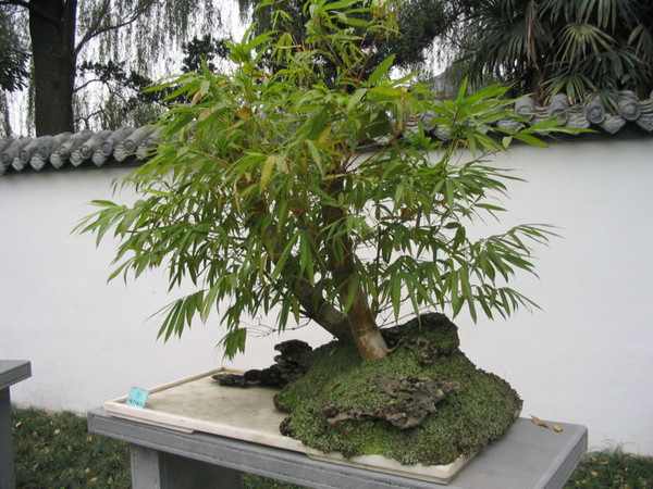 bambu bonsai