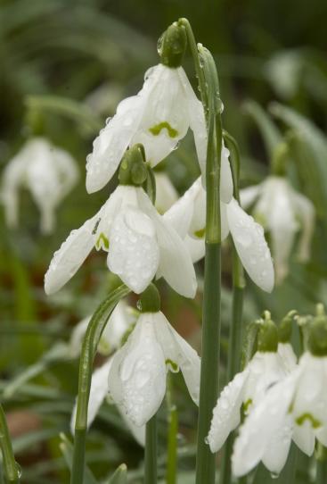 Campanilla de invierno: Características, cultivo y cuidados