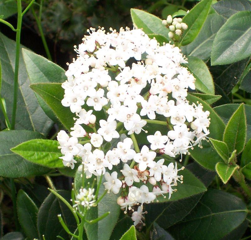 Viburnum tinus: Cultivo, riego y cuidados