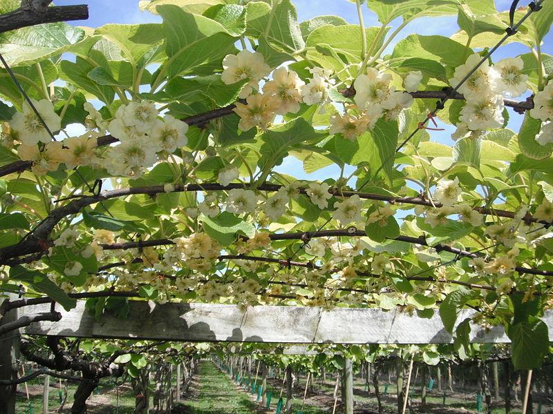 Kiwi: Características, cultivo y cuidados