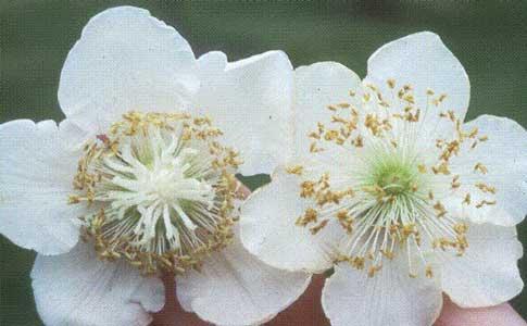 flores kiwi1