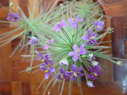 byblis liniflora1