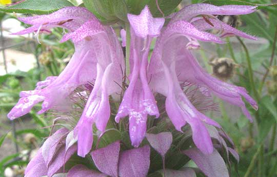 monarda citriodora2