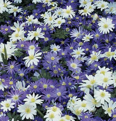 Anemone blanda: Cultivo, riego y cuidados
