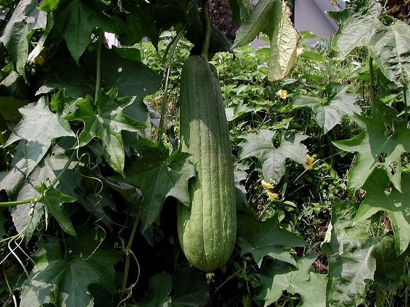 Esponja vegetal: Características, cultivo y cuidados
