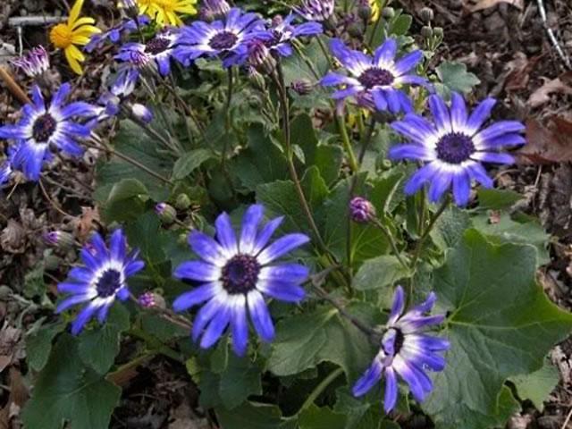 Cineraria o Pericallis x hybrida: Cultivo, riego y cuidados