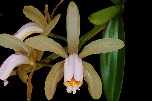 Orquídeas: Características y cultivo de la Cattleya forbesii