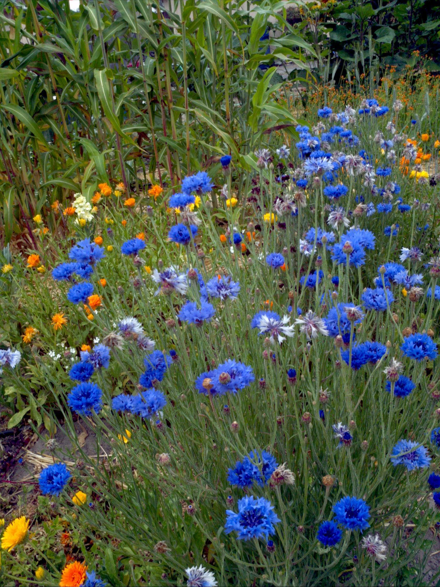 Azulejo (Centaurea cyanus): Características, cultivo y reproducción
