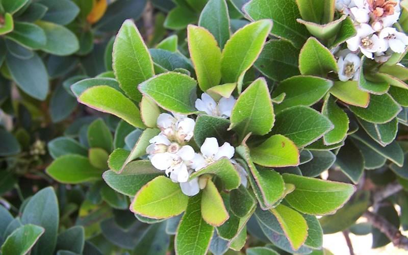 Rafiolepis: Cultivo, riego y cuidados