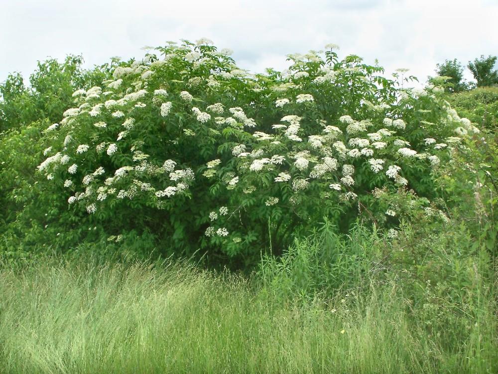 Plantas medicinales: El sauco negro (Sambucus nigra)