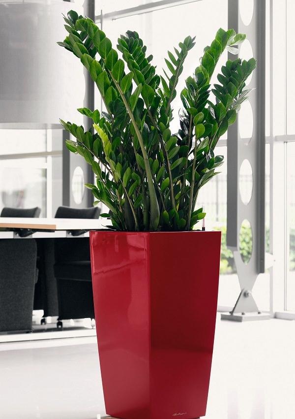 Zamioculca cultivo riego y cuidados plantas interior for Plantas decorativas de exterior