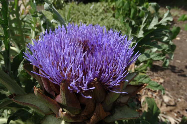 Cardo de Castilla (Cynara cardunculus): Características, cultivo y cuidados