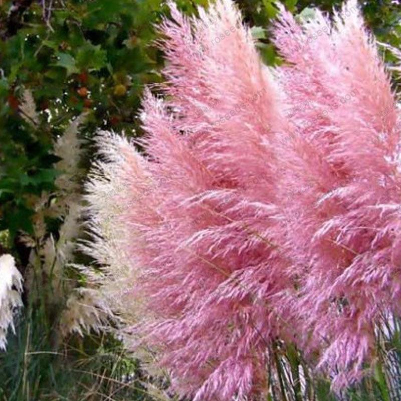 hierba de las pampas2