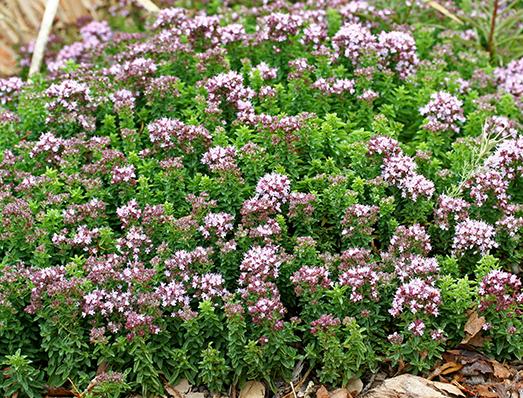 Orégano (Origanum vulgare): Características, cultivo y usos