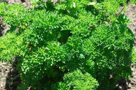 Perejil (Petroselinum crispum): Épocas de cultivo y cosecha