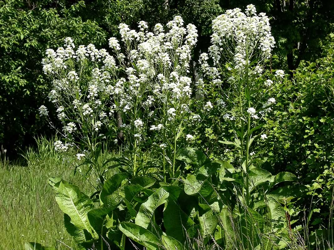Rábano rusticano (Armoracia rusticana): Cultivo, suelos y reproducción