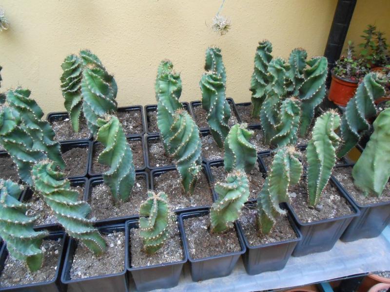 Cereus forbesii var. spiralis