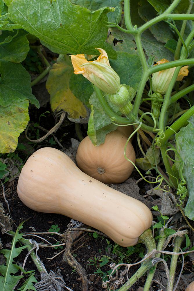 Zapallo anco: Características, cultivo y cuidados
