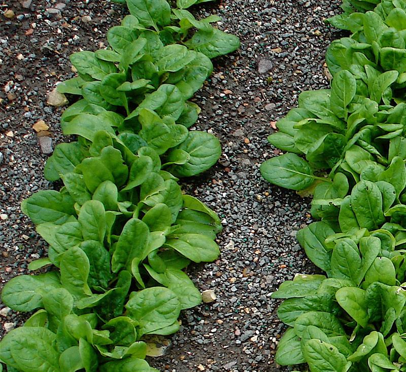 bonnie plants espinaca