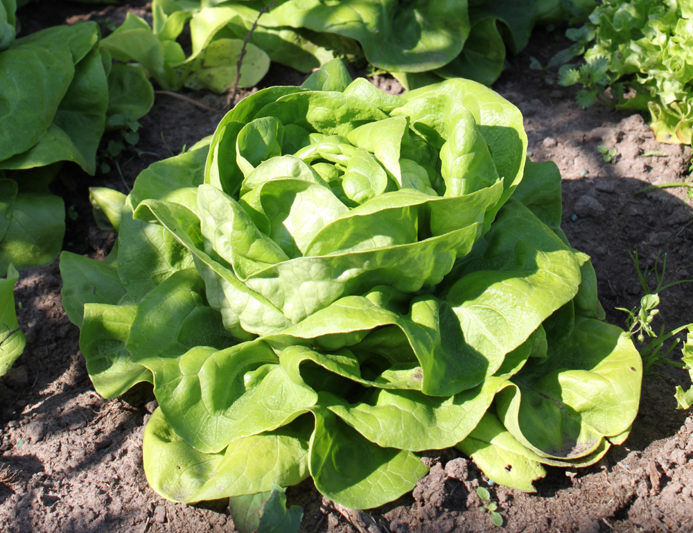 Lechuga (Lactuca sativa): Requerimientos de cultivo