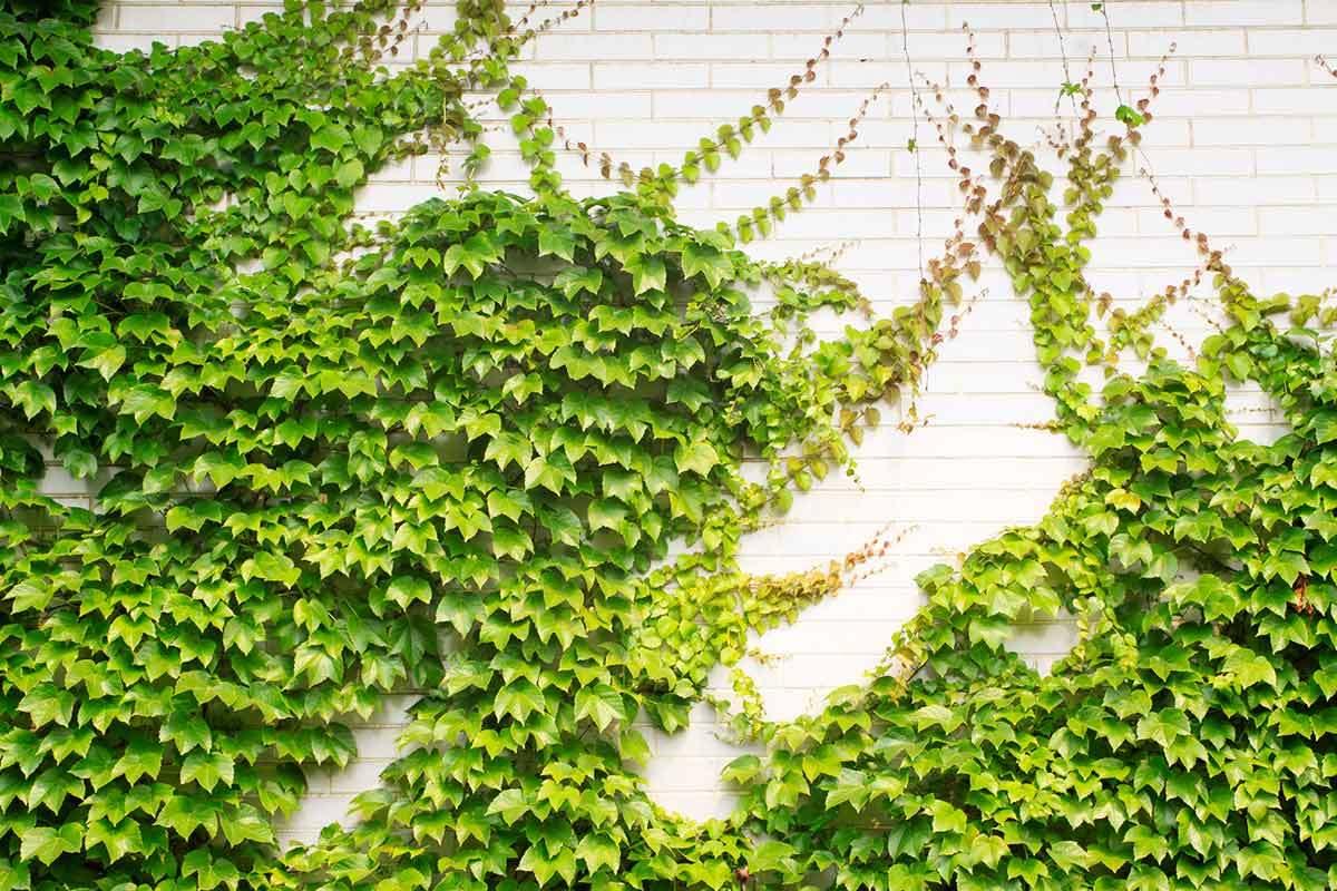 Cómo utilizar plantas trepadoras para ornamentar corredores