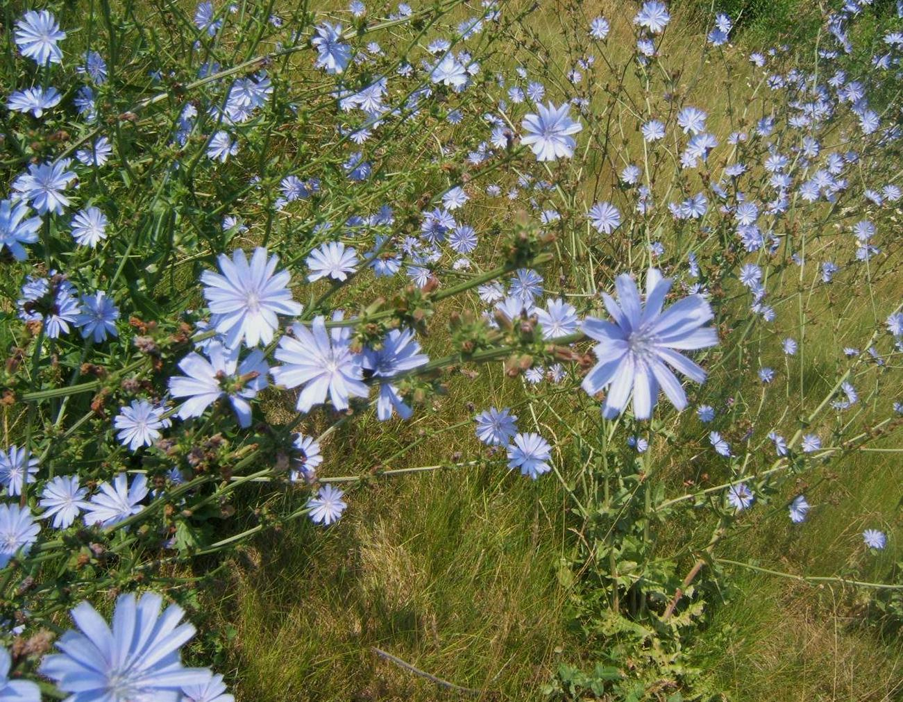Cultivo de la achicoria con fines comestibles, terapéuticos y ornamentales
