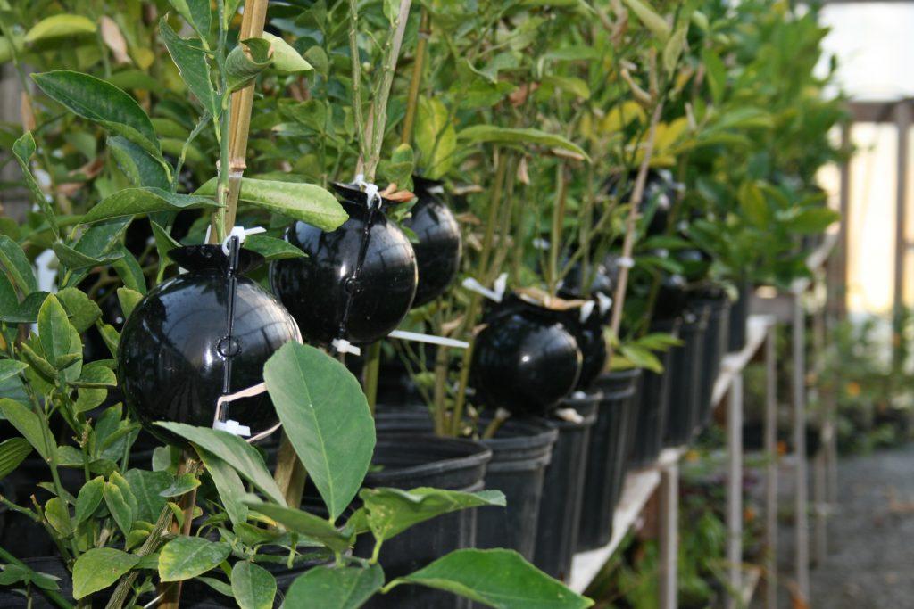 T cnicas de reproducci n asexual el acodo a reo plantas for Raices ornamentales