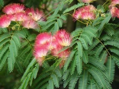 Arbol crespon reproduccion asexual de las plantas