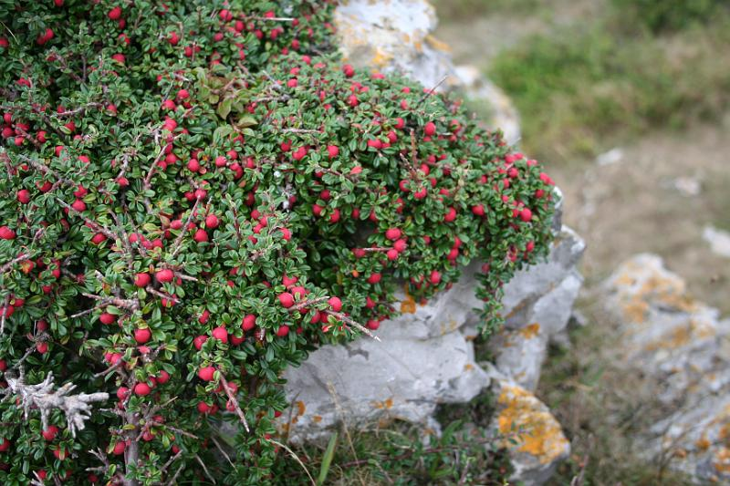 cotoneaster microphyllus0