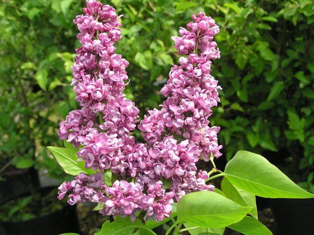 "Syringa vulgaris ""Charles Joly"""