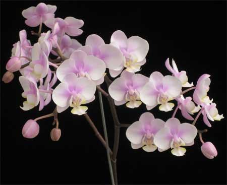 Orquídea mariposa (Phalaenopsis): Características y cultivo