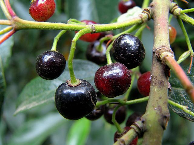 Frutales exóticos: El maqui (Aristotelia chilensis)