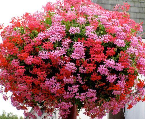 Geranio de hiedra (Pelargonium peltatum): Características y cultivo