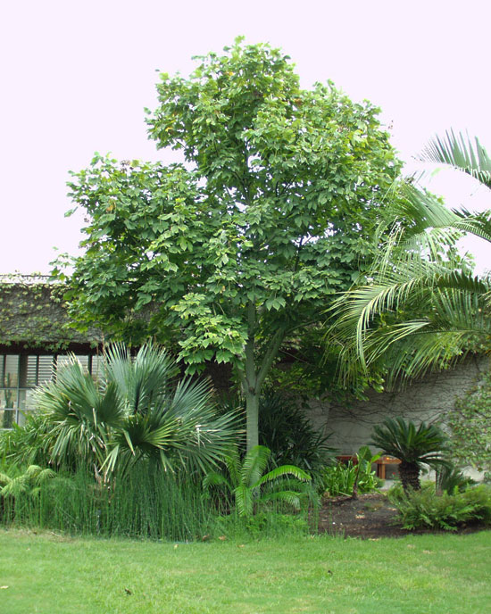Árboles ornamentales: Parasol de la China (Firmiana simplex)
