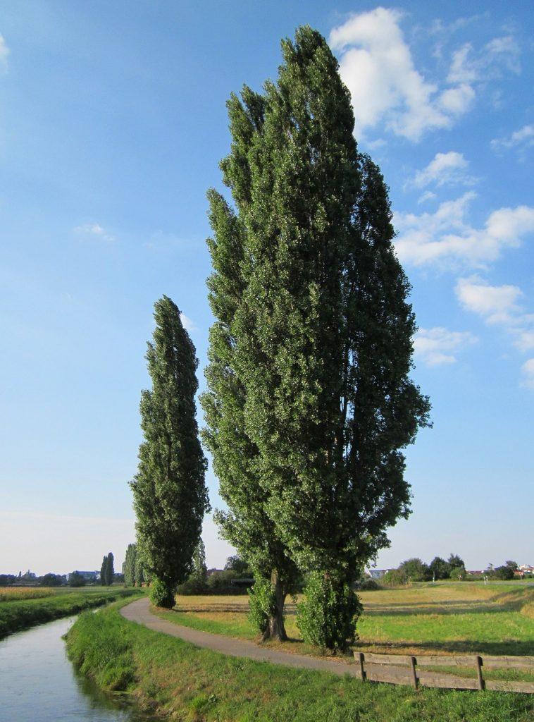 Rboles ornamentales el lamo negro populus nigra for Imagenes de arboles ornamentales
