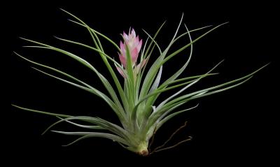Plantas para terrarios: La Tillandsia stricta