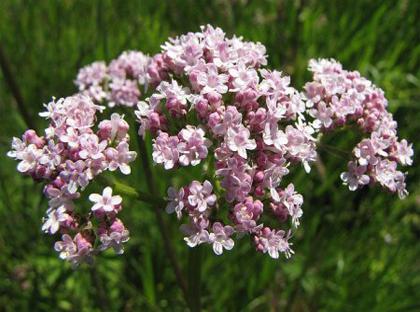 Plantas medicinales que crecen en jardines y huertos
