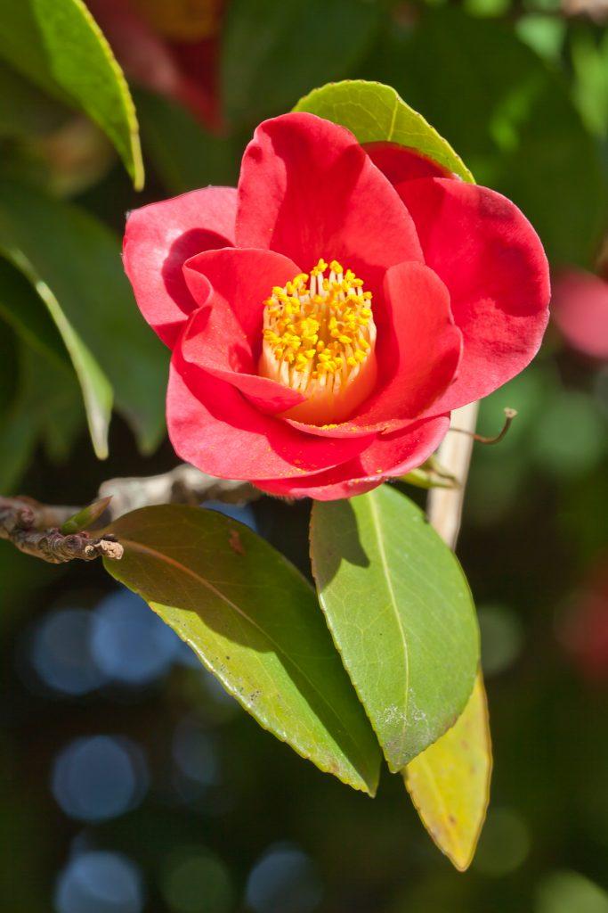 Camellia japonica cultivo riego y cuidados flores flor - Cuidados de la camelia ...