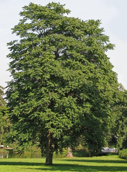 Árboles ornamentales: El Ailanto (Ailanthus altissima)