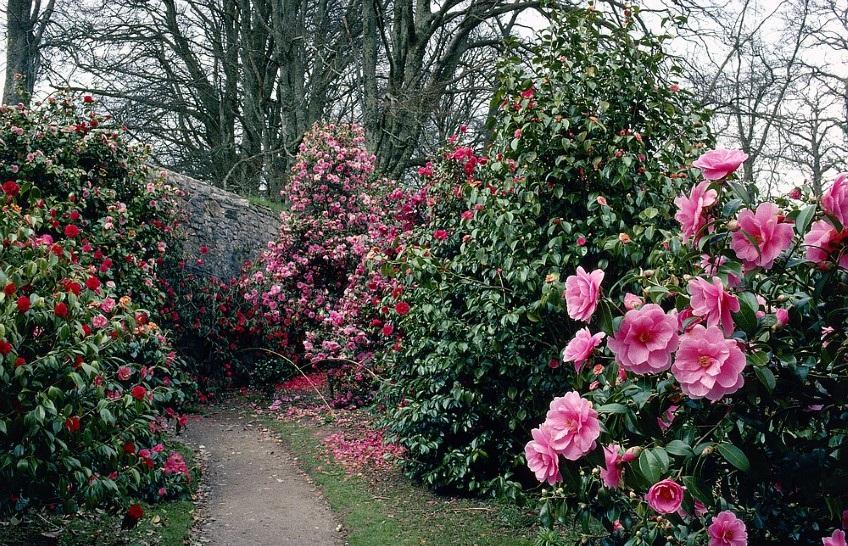 Camellia japonica: Cultivo, riego y cuidados