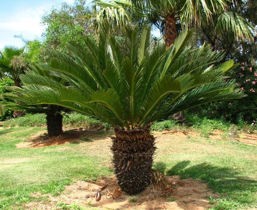 Árboles ornamentales: la Cica (Cycas revoluta)