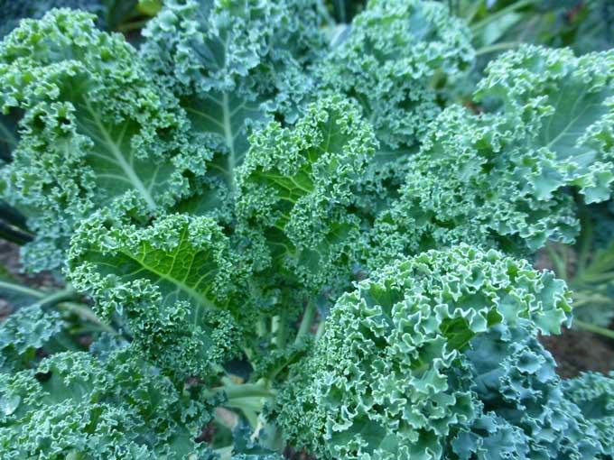 kale (Brassica oleracea var. sabellica): Características y cultivo