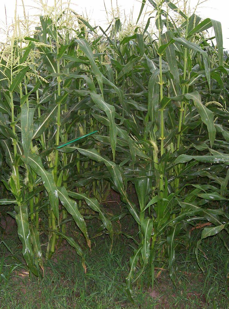 Maíz dulce: Características y condiciones para su cultivo