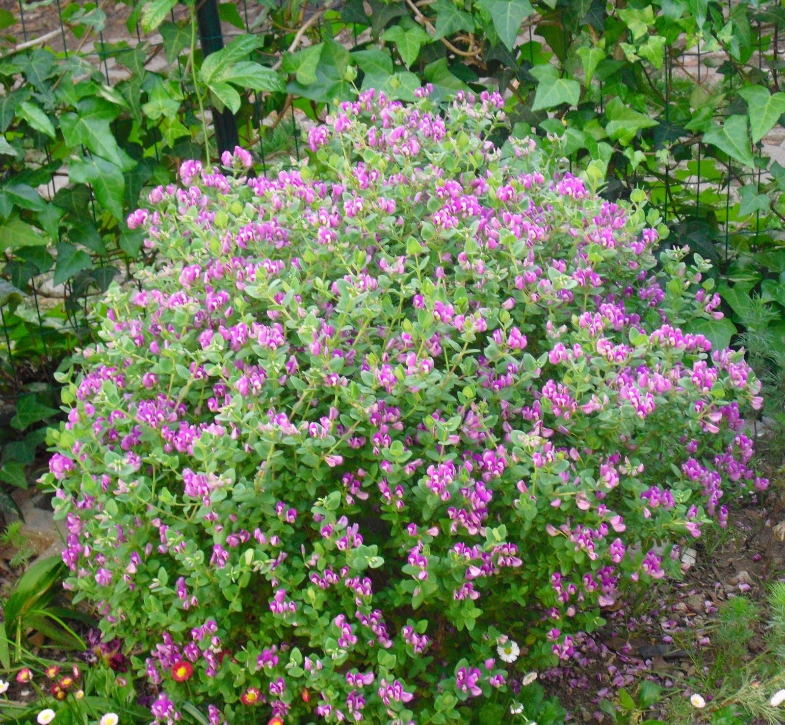 Polígala (Polygala myrtiflora): Características y cultivo