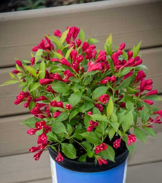 weigela-all-summer-red