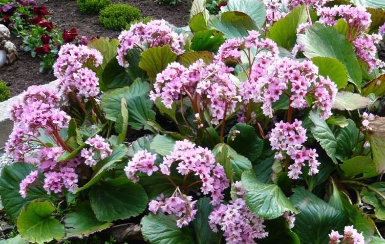 Hortensia de invierno bergenia crassifolia cultivo for Hortensias cultivo y cuidados